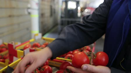 importação : Worker checks boxes of tomatoes after transport for sale to food company and retailers. Order for carriage for supermarket or grocery shop. Imported food for selling to supermarket. Closeup