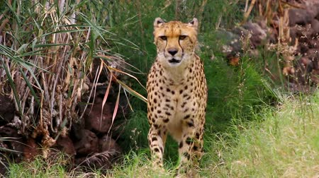 sighted : Beautiful cheetah creeps through undergrowth hunting for food Stock Footage