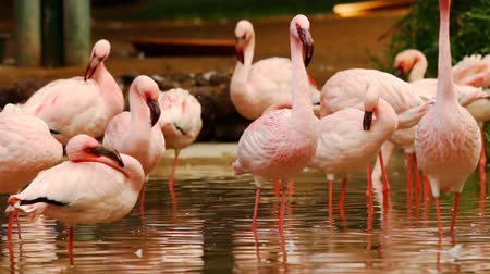 chilean flamingo : Group of flamingos standing in water basin preening themselfs