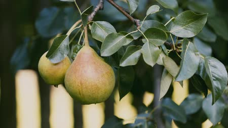 pereira : PEAR on the tree