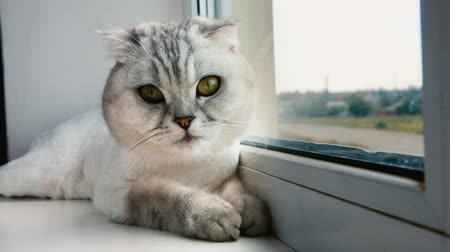 british cat : Ash cat sitting on the window. Concept: warmth, comfort Stock Footage