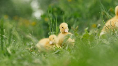 small group of animals : several ducklings on green grass