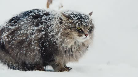 gato selvagem : The cat is sitting in the snow. Wool is covered with snow