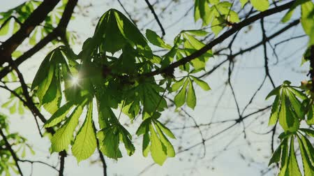 dal : Rays of sun shining through the leaves of chestnut
