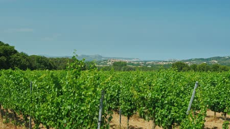 kırsal : Steadicam shot: Vineyard on a sunny day - in the background the hills with Mediterranean town Stok Video