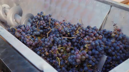 rubi : Extruding machine grape juice for a delicious dry red wine. Pour the grapes from the box in the extractors Stock Footage
