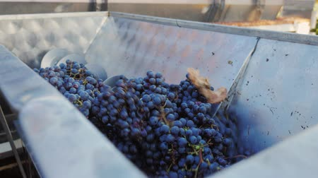 rubi : Work in the winery. Grinds red grapes for wine production