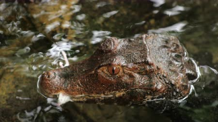 aligátor : Dwarf Caiman eating a mouse. Close-up
