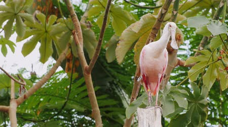 rookery : Exotic pink bird curiously looking into the camera. Roseate Spoonbill Stock Footage
