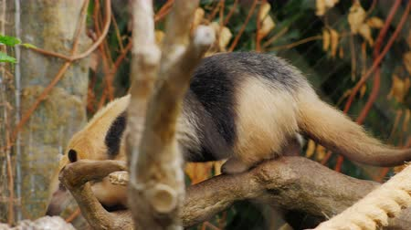 partially : Anteater Southern Tamandua nimbly climbs the tree Stock Footage
