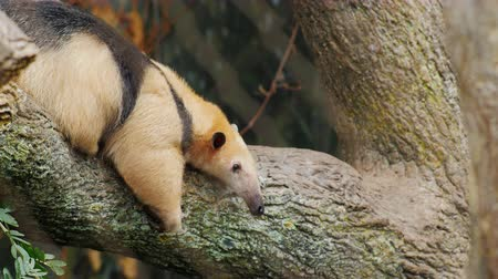 pilosa : Anteater Southern Tamandua very funny crawling on his belly on a tree branch Stock Footage