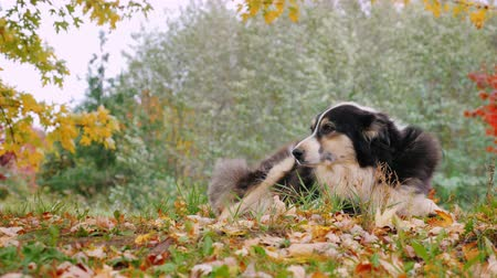 shepherds house : Dog breed Australian shepherd resting in the yard. Against the background of yellowing trees in autumn Stock Footage
