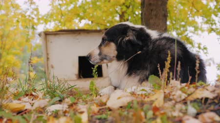 shepherds house : Australian Shepherd is around his booth. Home guard Stock Footage
