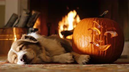 cachorro : Australian Shepherd is around carved pumpkins. Preparing for Halloween