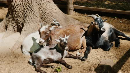 chamois : Several cool goats and kids sit under a tree