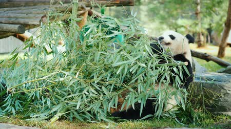 large ears : Big panda sits on the ground, eats green branches Stock Footage