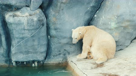 climate : Polar bear washes his face