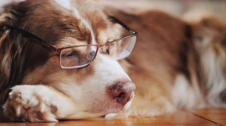 zwierzeta : Portrait of a sheepdog with glasses. Dozing on the floor in the living room