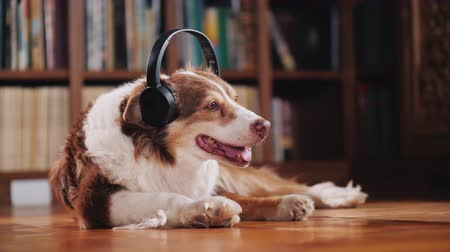 pisos : The dog listens to music on headphones, lies on the floor in the library