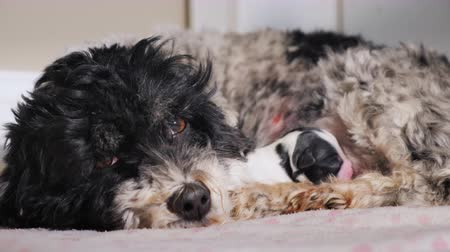 striving : A newborn baby dog lies near its mother