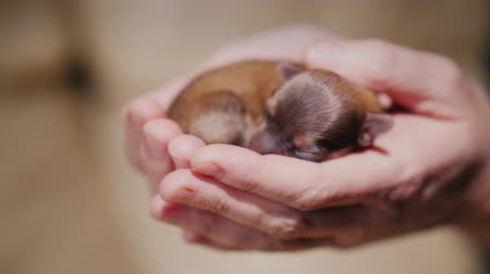 av köpeği : A newborn puppy lies in the palms of the hands. Protection and care concept