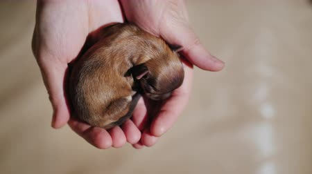 köpek yavrusu : Top view: A newborn puppy lies in the palms of the hands. Protection and care concept