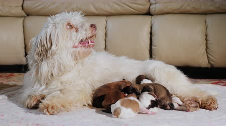 ниппель : A domestic white dog feeds the puppies. Lies in the living room next to the couch
