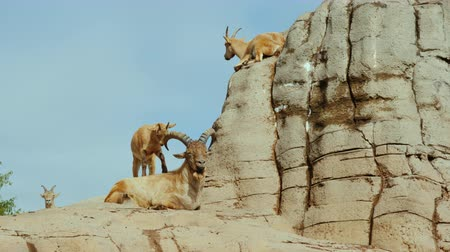 goatling : The family of mountain goats rests on a rock