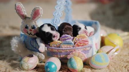 króliczek : Funny puppies in a basket with a decorative rabbit, next to the Easter eggs. Preparation for Easter and favorite pets