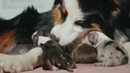 striving : A caring shepherd cares for a newborn puppy. Cute video with animals