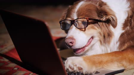 pies : Serious dog-businessman working with a laptop. Funny animals concept
