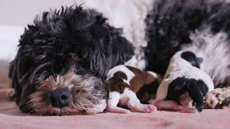 striving : Head of a dog, near her are two newborn puppies Stock Footage