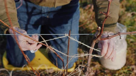viticultura : Pruning grapes in late winter or early spring season, close-up shot Stock Footage