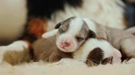 младенчество : Several newborn puppies sleep near the big paw of their mother. Protection and safety concept