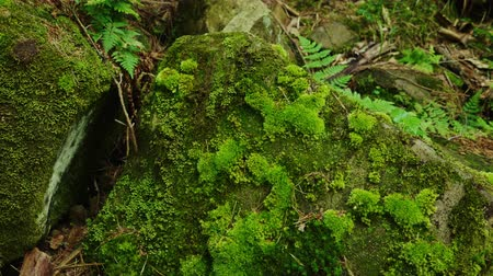 liken : A large stone in the forest. All is covered with moss. Humid climate