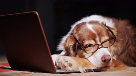 materiaŁ : A dog in reading glasses is dozing near a laptop