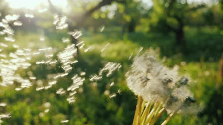 dmuchawiec : Play with dandelions, the seeds fly in the wind. Enjoy the spring concept. Slow motion POV video