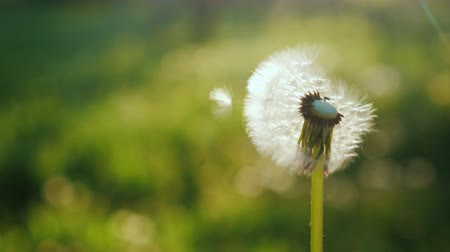 dmuchawiec : Blowing on a dandelion flower, close-up. Slow motion video