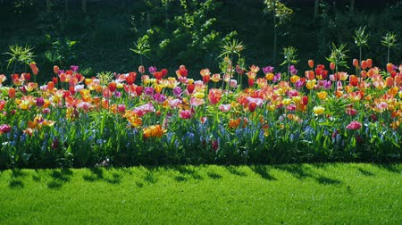çiçekler : To stroll along the beautiful flowerbed with colorful tulips. Steadicam shot