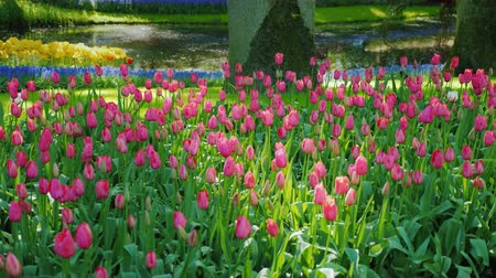 нечеткий : Variety of colors and kinds of tulips in the indistinct park of the Netherlands