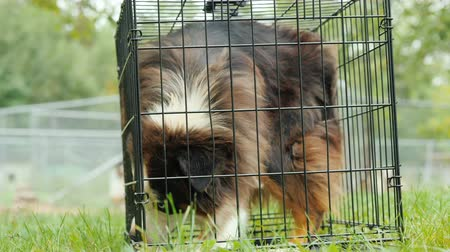 kennel : A frightened dog runs around a small cage