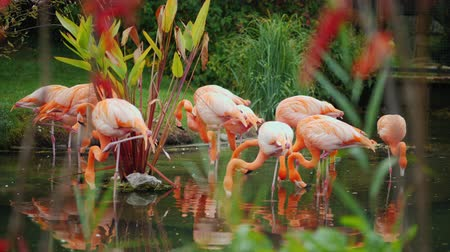 flamingi : A flock of beautiful pink American flamingos Wideo