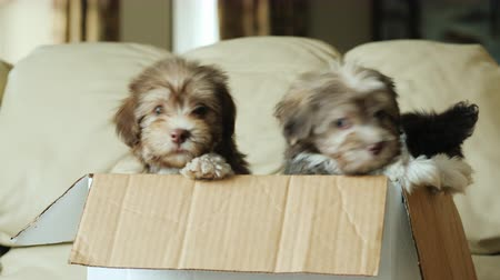 posta kutusu : Funny puppies look out of a cardboard box. The box is on the sofa in the living room