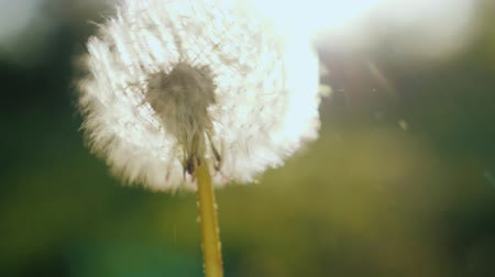 мягкость : Close-up shot: Blowing on a dandelion flower. Slow motion video