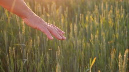rolník : The hand of an elderly woman looks at the spikelets of green wheat. Beautiful glare of the sun. Organic farming concept