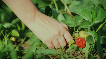 plucks : Female hand plucks juicy strawberries