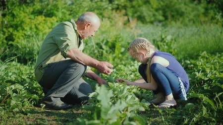 ищу : Grandfather and granddaughter together collect strawberries in the garden. Communication of generations, organic products