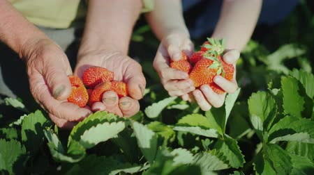 ищу : The hands of the elderly man and the girls next to him hold a ripe strawberry. The harvest of organic fruits