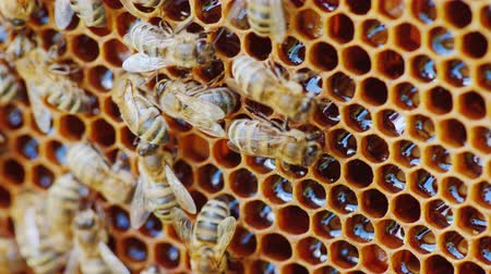 hive : The bees work at the hive on the honeycomb. Cells are not closed, you can see fresh honey