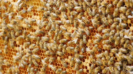 wasp : Colony of bees at work in the hive. Tightly sitting on a frame, background of bees. Useful Products and Alternative Medicine Concept